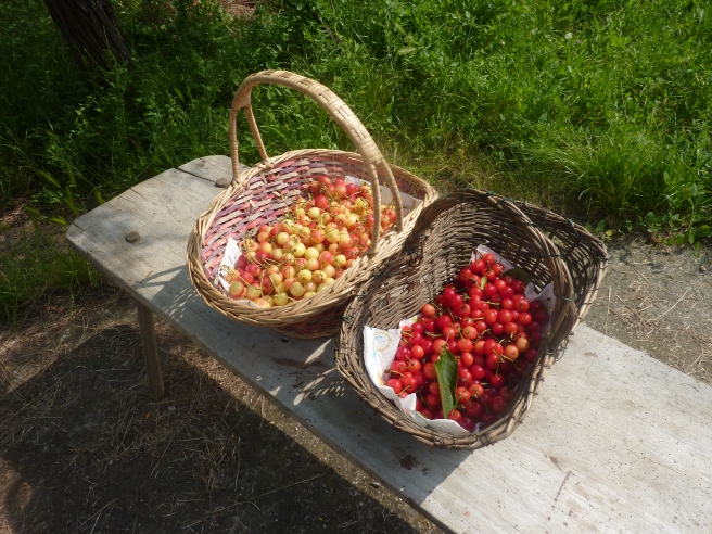 The cherries on the left are the graffioni bianchi we picked. On their right are the  agriotte.